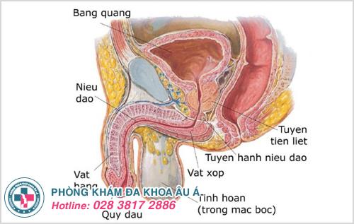 Tuyến tiền liệt có chức năng gì trong cơ thể nam giới?